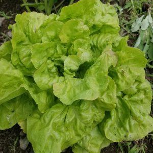 Blushed Butter Oak Lettuce