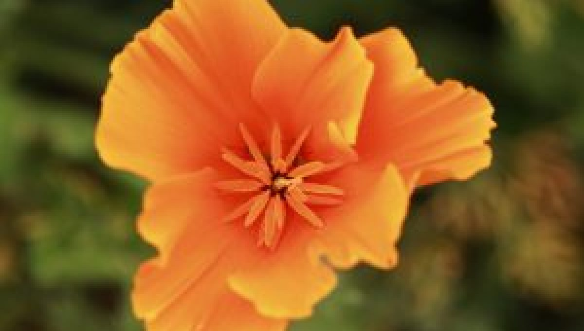 Coquelicot California Orange