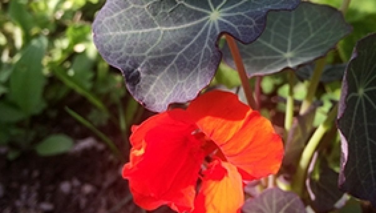 Empress of India Heirloom Dwarf Nasturtium