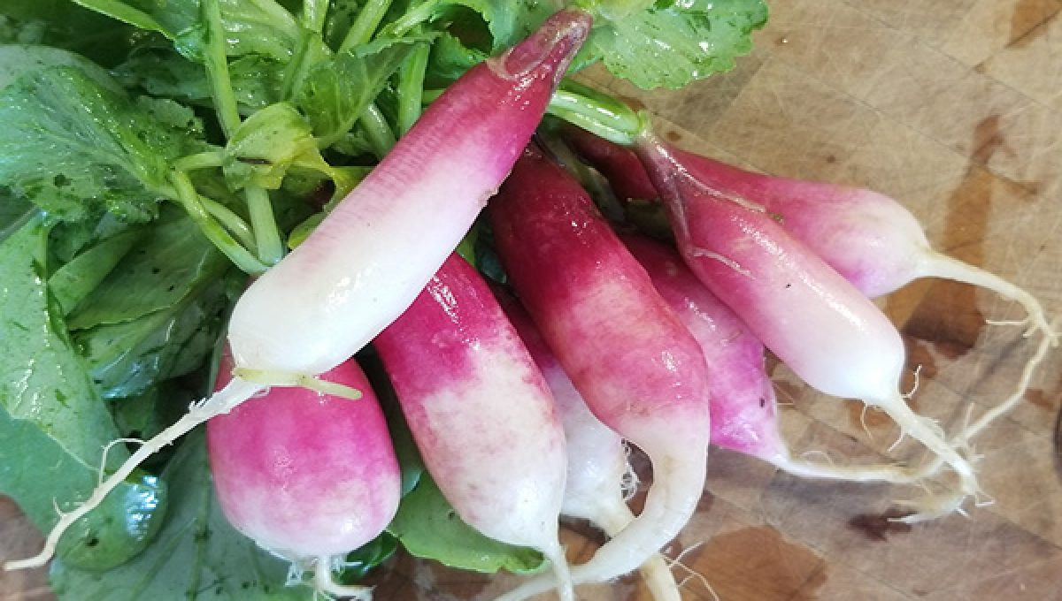 French Breakfast Heirloom Radish