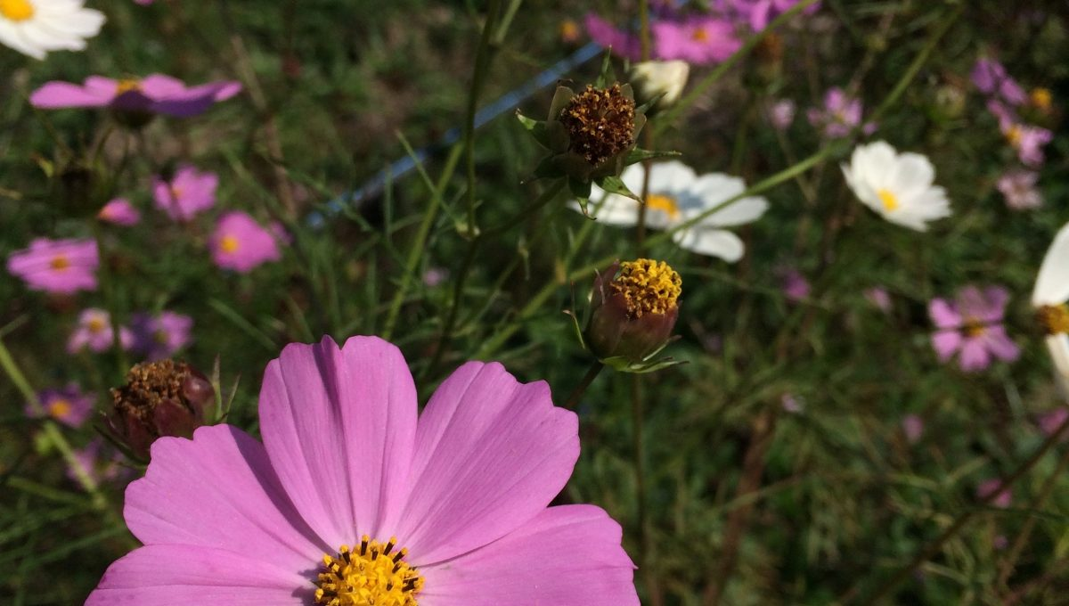 Mélange fleur Sensation Cosmos