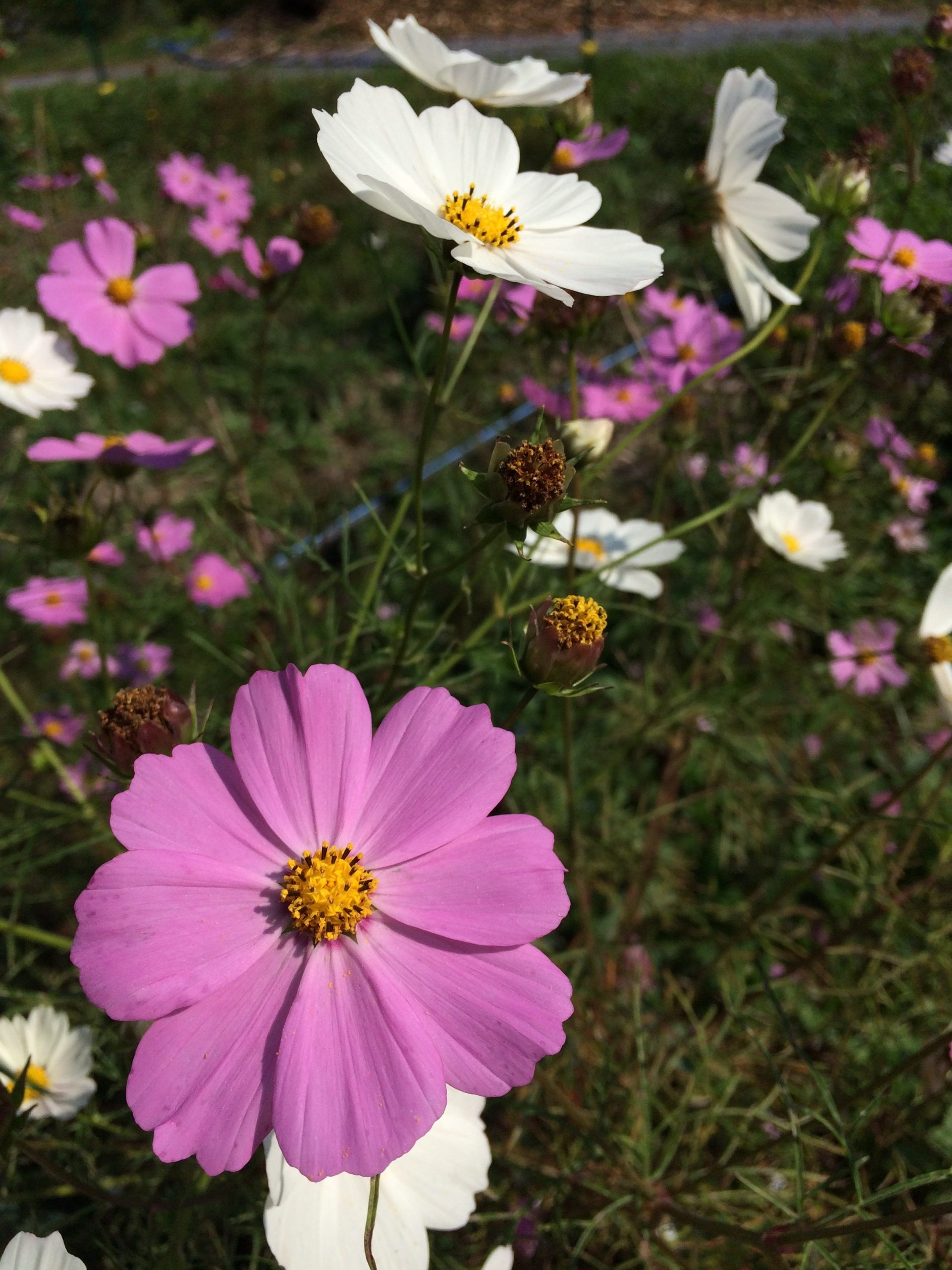 Sensation Mix Cosmos Flower