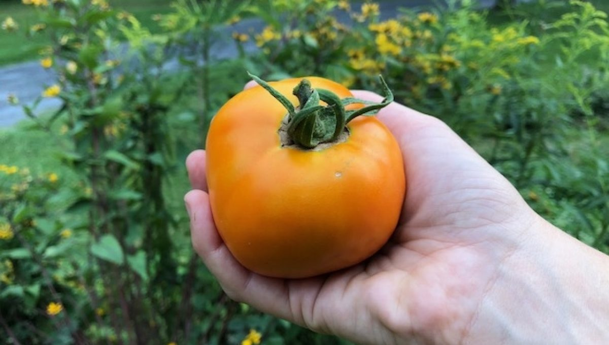 Tomate du patrimoine Valencie