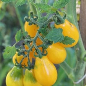 Tomate du patrimoine yellow pear