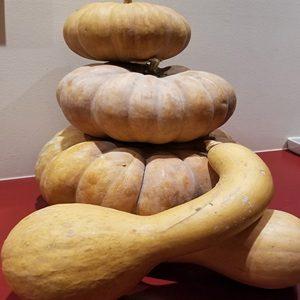 Courge Musquée de Provence x Iroquois Crookneck Squash