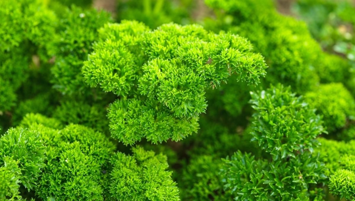 Curly Moss Parsley