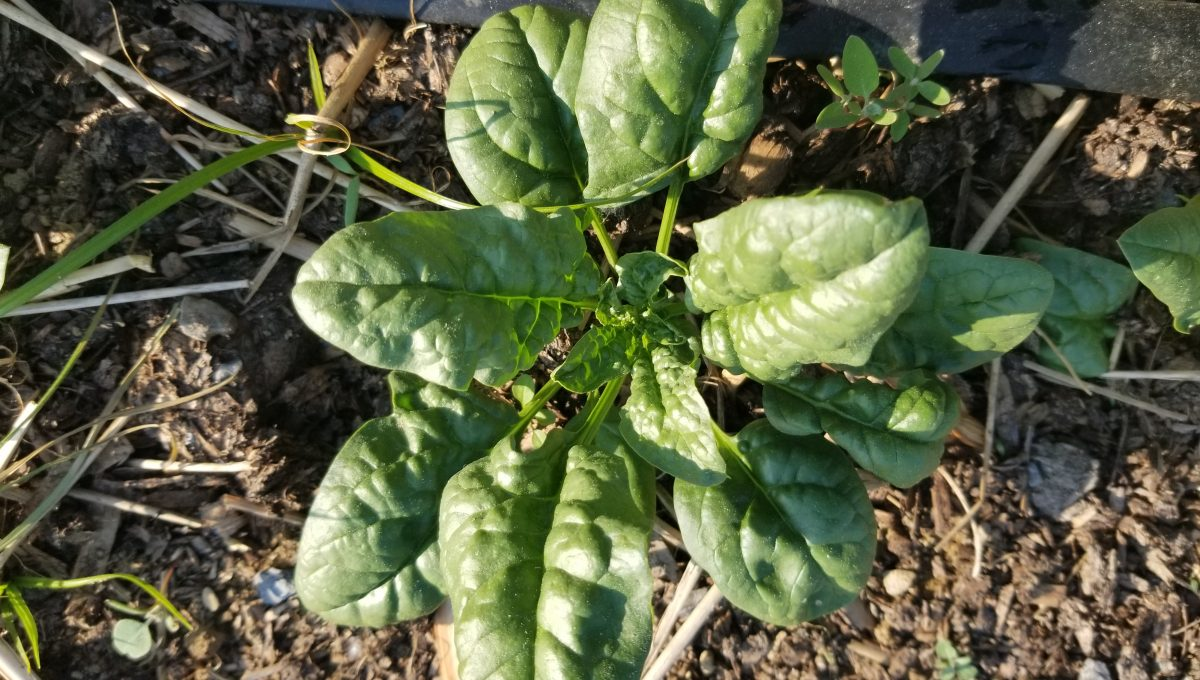 Bloomsdale Longstanding Heirloom Spinach