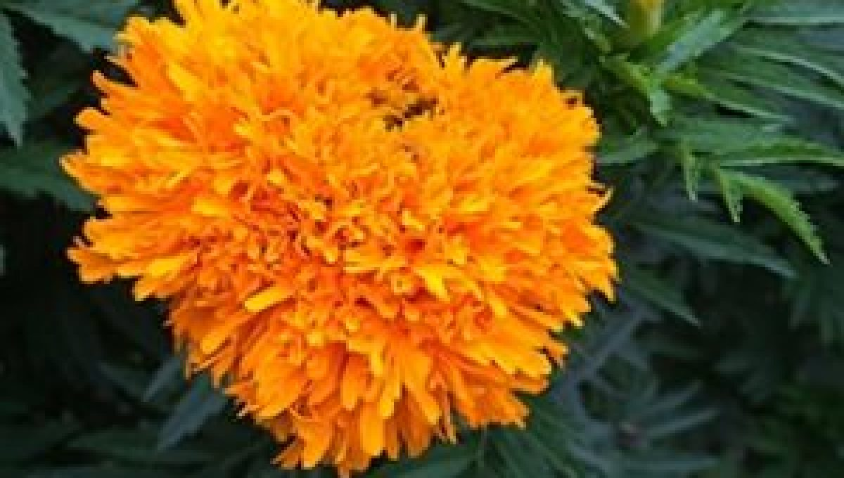 Sparky French Marigold