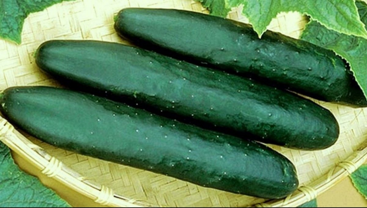 Straight Eight Heirloom Cucumber