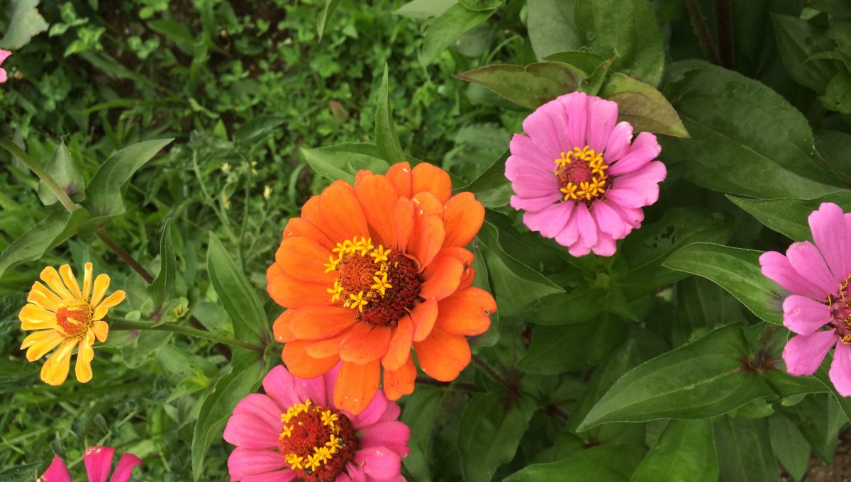 Country Blend Zinnia