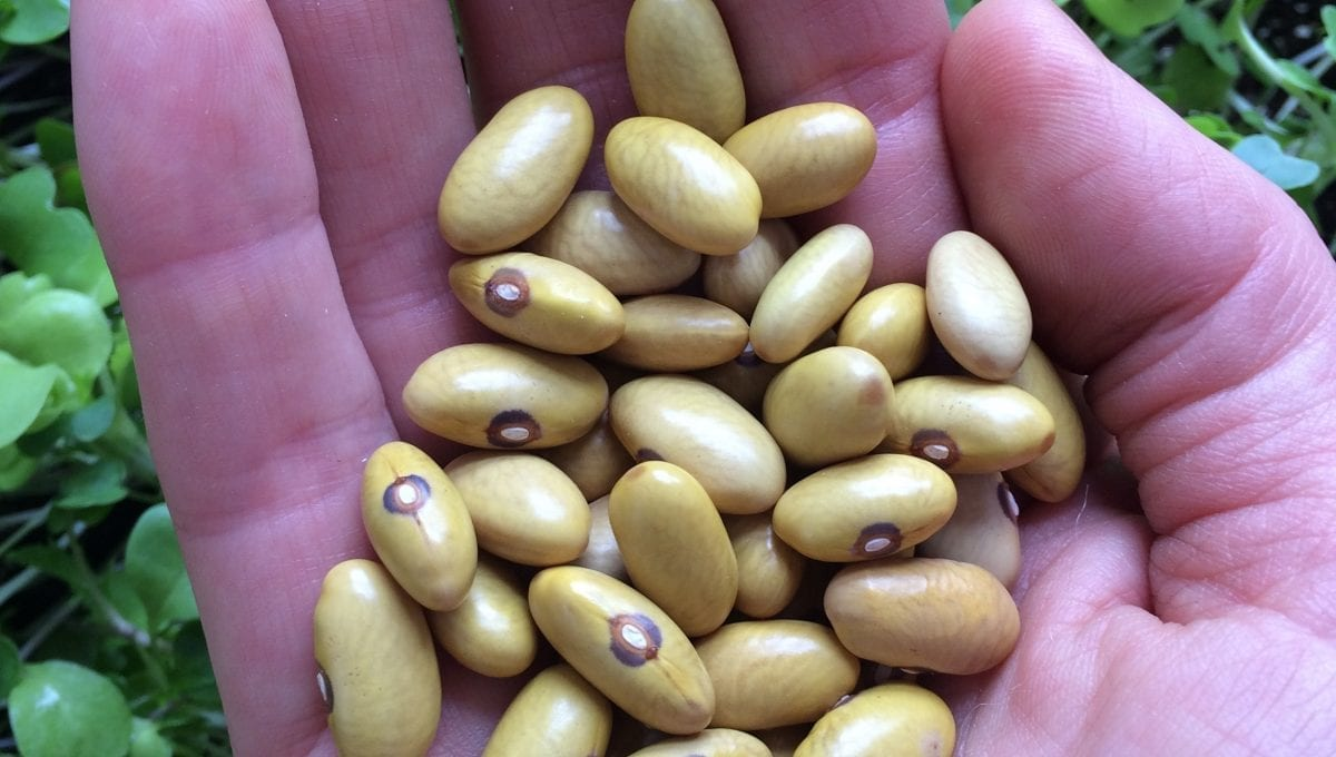 Heritage Dore Beans - Qc Seeds