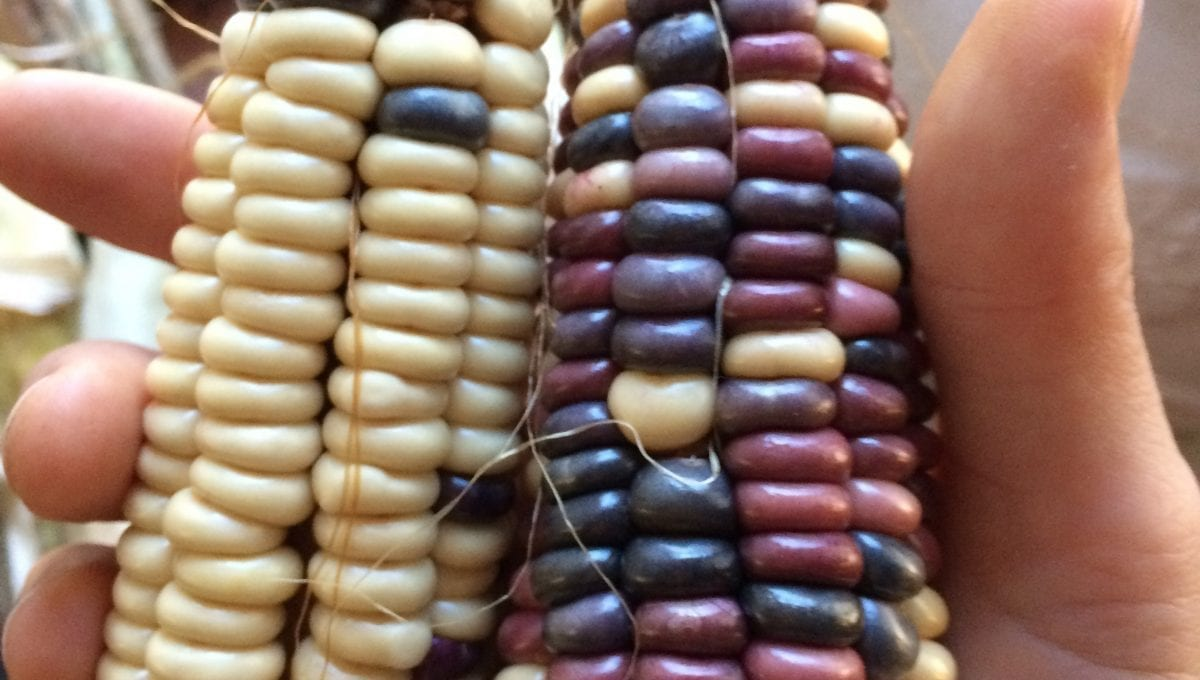 Seneca Flint corn