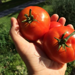 Tomate Early Annie