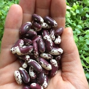 Jacobs Cattle Bean