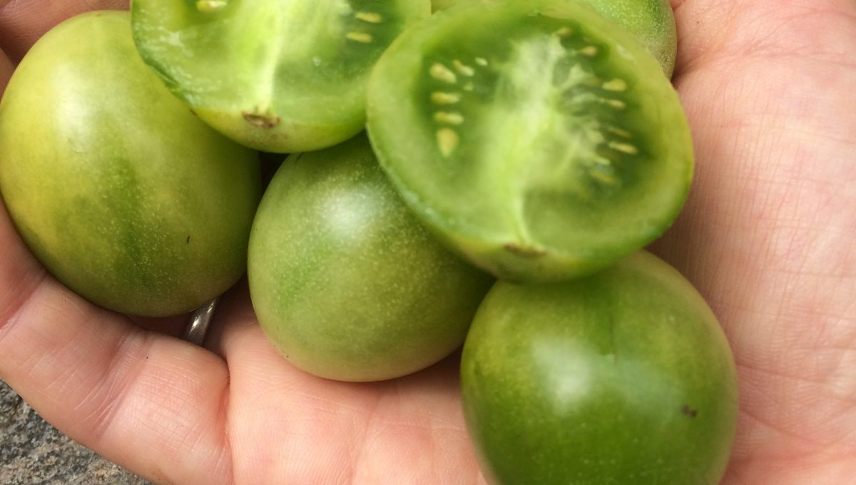 Tomate cerise Frosted Green Dr.