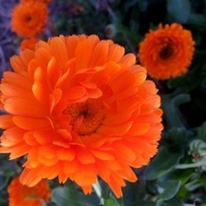 Orange Calendula Pacific Beauty