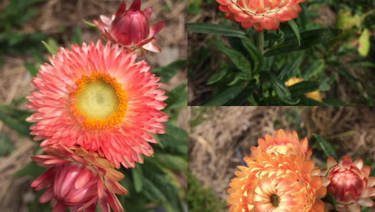 Apricot Peach Strawflowers