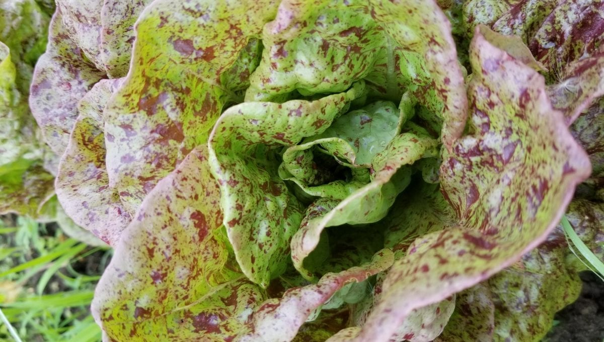 Speckled Amish Bibb lettuce