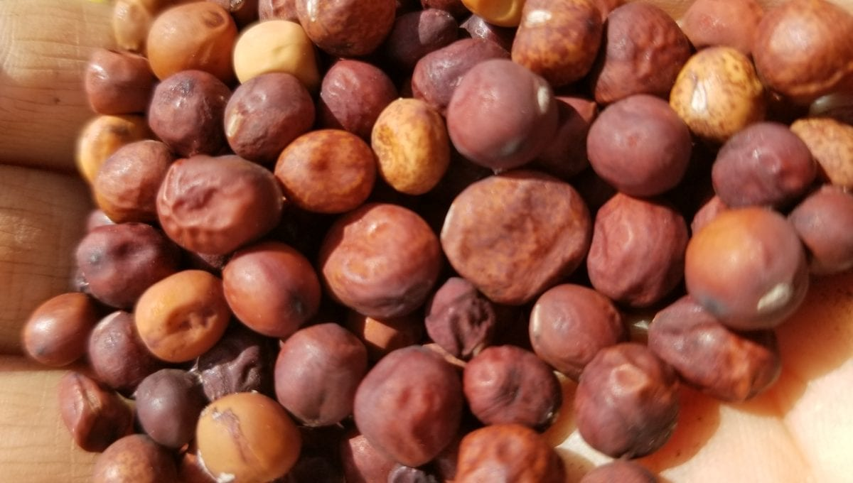 Gastro Maple pea