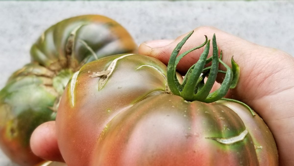 Tomate Black Sea Man Bifteck