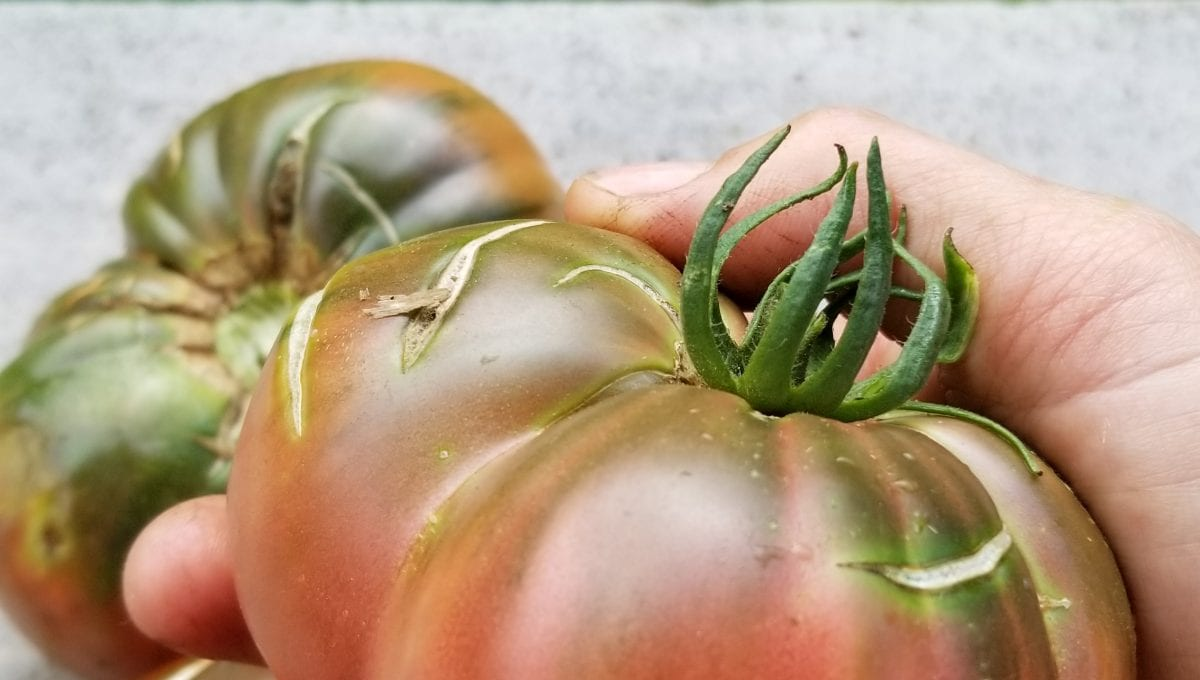 Black Sea Man Beefsteak Tomato