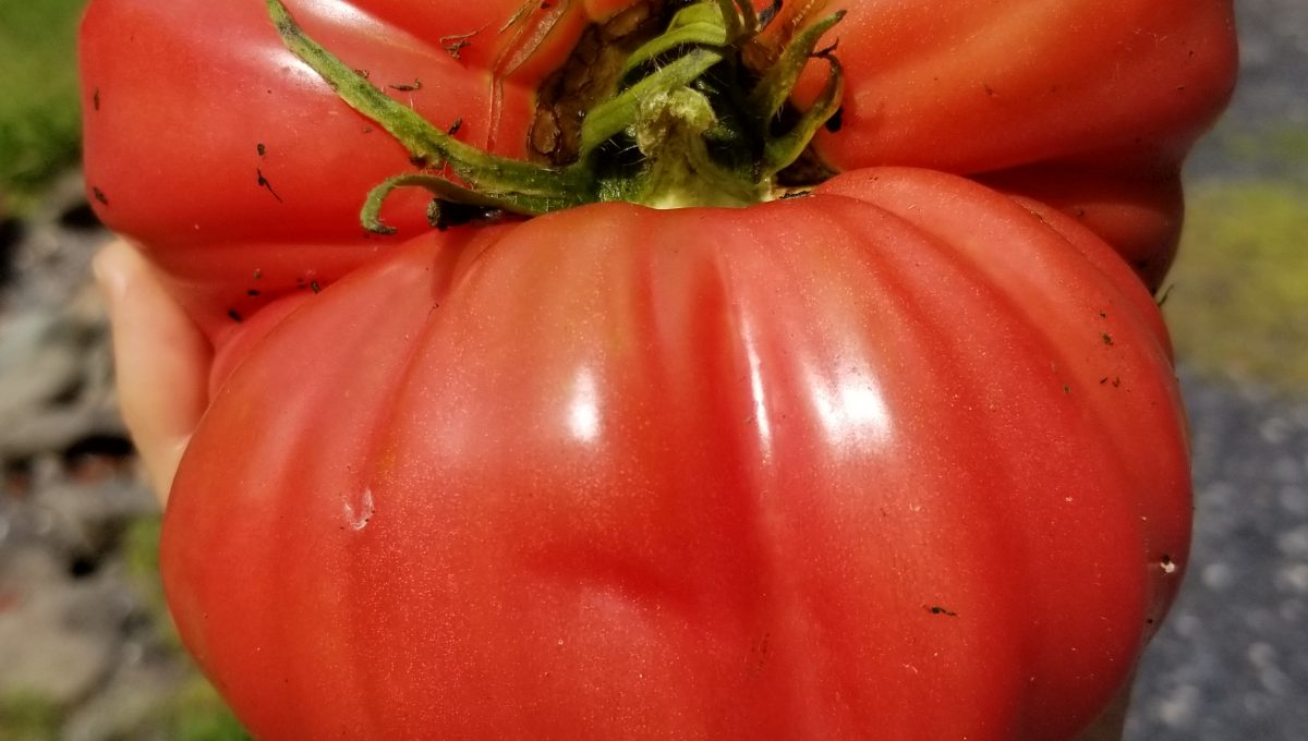Mortgage Lifter beefsteak tomato