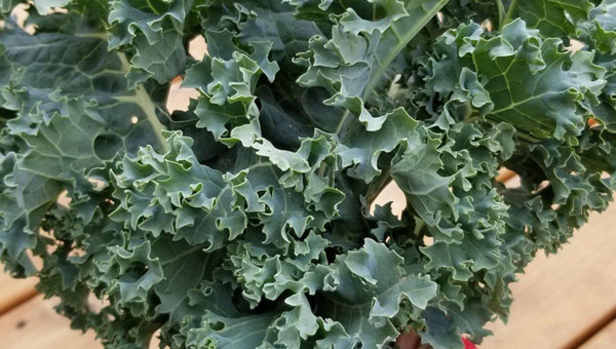 Choux Kale Blue Vates