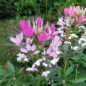 Cleome spider flower