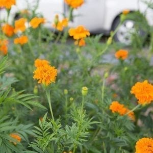 Tall Orange Marigold